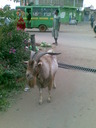The huge, satanic goat that lives in Tala
