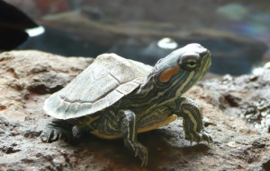 "Our red-eared slider, ""Smalls"""