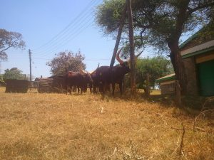 Ankole cattle at ILRI Nairobi's farm