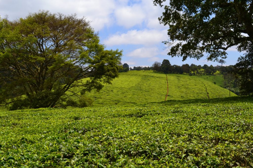 A sea of tea leaves in Limuru, Kenya